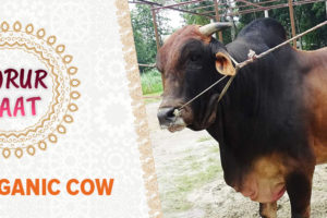 order cow from daraz.com.bd